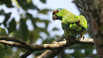 Festive Parrot is among many psittacids we should see. Photo by guide Dave Stejskal.