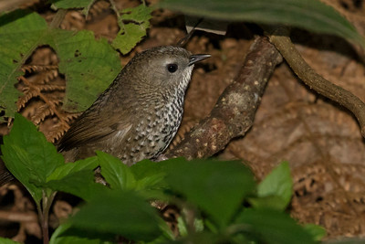 Chin Hills Wren-Babbler, by guide Doug Gochfeld