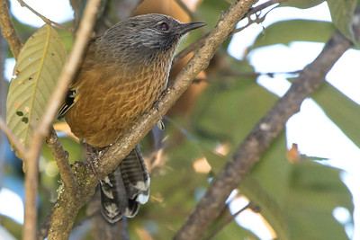Streak-throated Barwing, by guide Doug Gochfeld