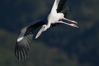 Asian Openbill, by guide Doug Gochfeld