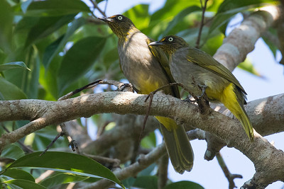Davison's or Pale-eyed Bulbul, endemic to Myanmar, by guide Doug Gochfeld
