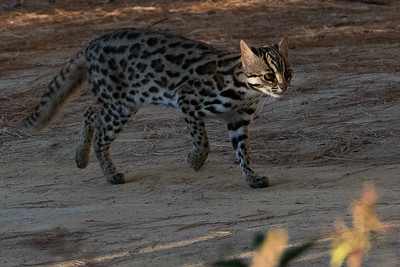 We'll hope for some interesting mammals, too, possibly including Leopard Cat. Photo by guide Doug Gochfeld.