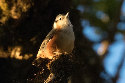 White-browed Nuthatch was lost to science for decades before being rediscovered on the remote upper slopes of Mt. Victoria. Photo by guide Doug Gochfeld.