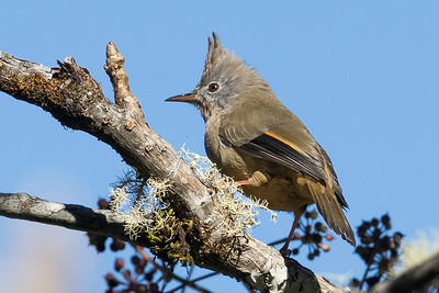 Stripe-throated Yuhina, by guide Doug Gochfeld