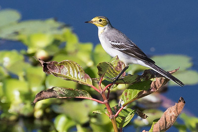 Citrine Wagtail wintering in Myanmar, by guide Doug Gochfeld