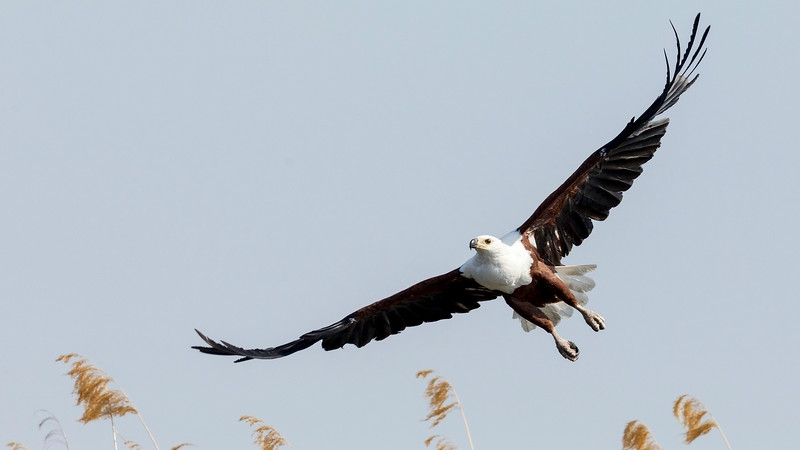 African Fish-Eagle, by participant Peggy Keller.