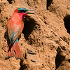Southern Carmine Bee-eater, brilliant on the red earth, by participant Peggy Keller.