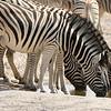 Waterhole scene with Zebras by participant Peggy Keller