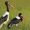 Saddle-billed Storks in the Okavango by guide Joe Grosel