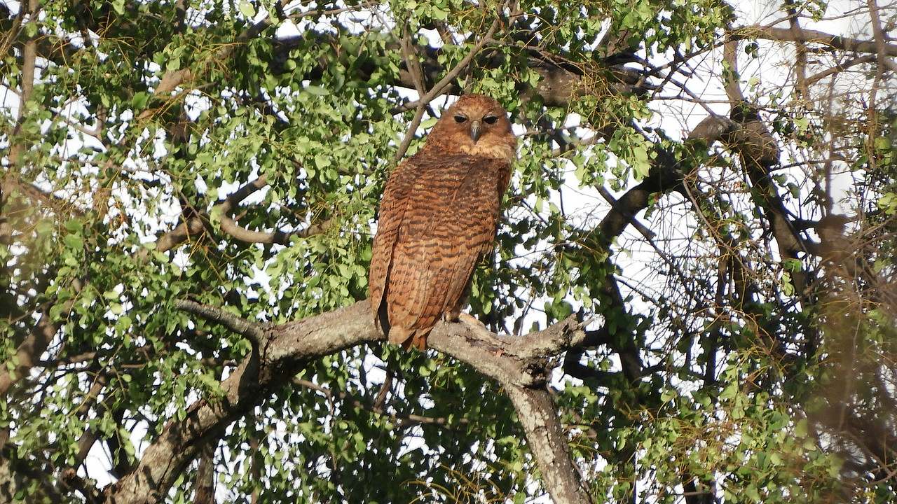 The huge Pel's Fishing-Owl, a marquee species for the tour, by guide Terry Stevenson.
