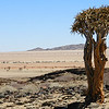 Quiver tree in the Namib Naukluft Desert, by guide Terry Stevenson.