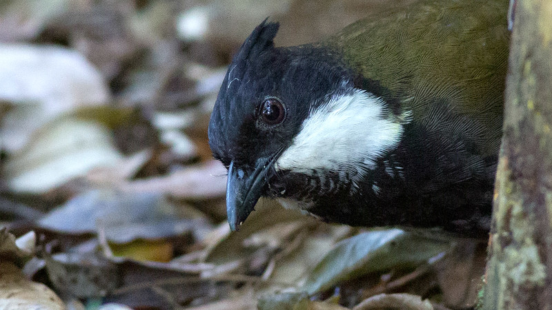 Eastern Whipbird is a loud voice in the Australian woodlands. Photo by guide Doug Gochfeld.