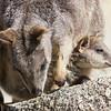 A Mareeba Rock-Wallaby with its joey. Photo by guide Doug Gochfeld.