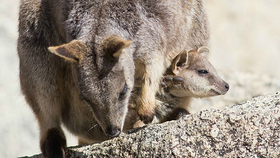 A Mareeba Rock-Wallaby with its joey. Photo by guide Doug Gochfeld.