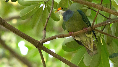 This Orange-fronted Fruit-Dove provides a good sense of why this and other fruit-doves can be so difficult to spot in the treetops! Photo by guide Doug Gochfeld.
