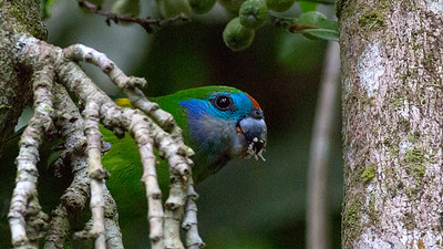 A Double-eyed Fig-Parrot dining on some fruits. Photo by guide Doug Gochfeld.