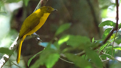 This fine male Golden Bowerbird was waiting for us near his maypole bower when we visited. Photo by guide Doug Gochfeld.