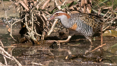 Buff=banded Rail was another fine marsh bird to give us good views. Photo by guide Doug Gochfeld.