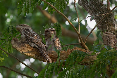 How many Papuan Frogmouths? Count carefully! Photo by guide Doug Gochfeld.