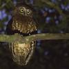 Southern Boobook is always a fun nightbirding find. Photo by guide Doug Gochfeld.