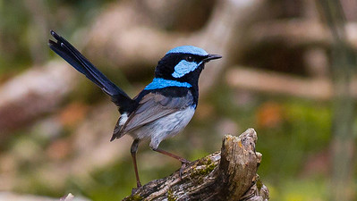 We can't think of a better name: Superb Fairywren. Photo by guide Doug Gochfeld.