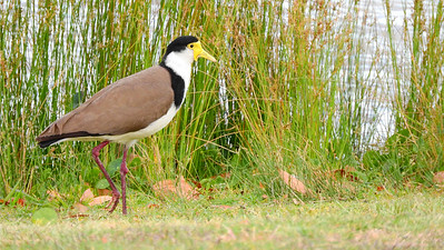 Masked Lapwing, photographed by participant Chuck Holliday.