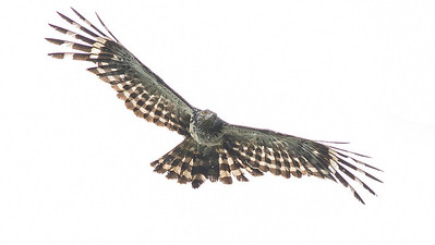 Long-tailed Honey-Buzzard, photographed by guide Doug Gochfeld.