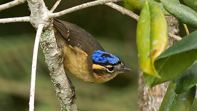 Blue-capped Ifrita is another New Guinea endemic. Photo by guide Doug Gochfeld.