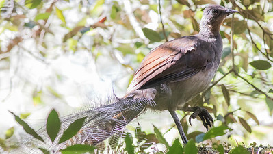 This Super Lyrebird, one of the world's great vocal mimics, put on a fine show for us in Royal National Park near Sydney. Photo by guide Doug Gochfeld.