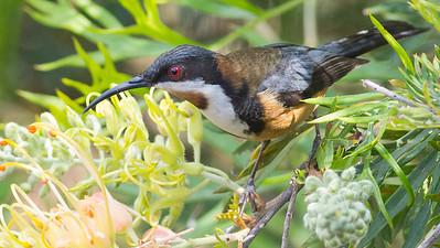 Eastern Spinebill uses its long beak to probe flowers for nectar. Photo by guide Doug Gochfeld.