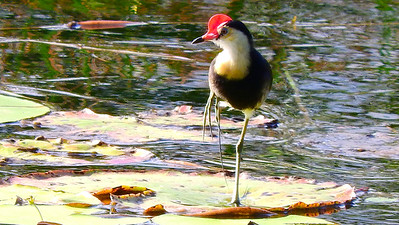 Comb-crested Jacana, photographed by participant Chuck Holliday.