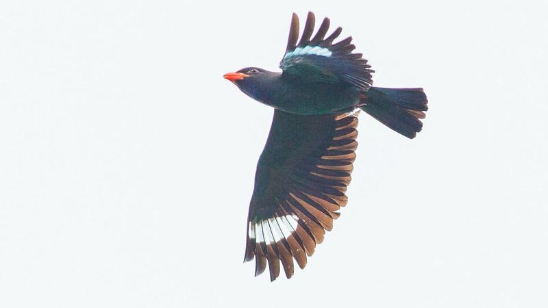 A Dollarbird in full fan, photgraphed by guide Doug Gochfeld.