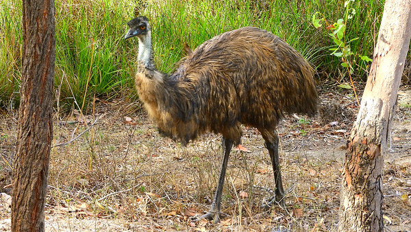 Classic Australia: an imposing Emu, photographed by participant Chuck Holliday.