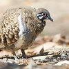 A fine portrait of Squatter Pigeon by guide Doug Gochfeld.