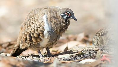A fine portrait of Squatter Pigeon by guide Doug Gochfeld.
