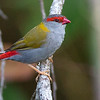 Red-browed Firetail, photographed by guide Doug Gochfeld.