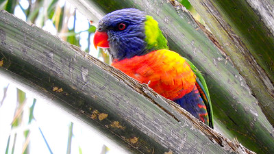 Another fitting bird name: Rainbow Lorikeet, one of Australasia's myriad parrot species. Photo by participant Chuck Holliday.