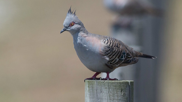 Crested Pigeon, photographed by guide Doug Gochfeld.