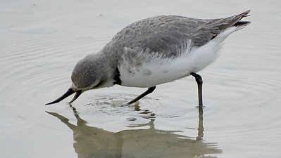 The endemic Wrybill is the only bird in the world with a laterally curved bill. Photo by guide Dan Lane.