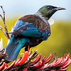 The Tui, one of New Zealand's most elegant endemics and photographed by participant Gregg Recer, begins this slideshow from our 2016 tour.