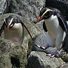 Fiordland Penguins, photographed by guide Dan Lane.