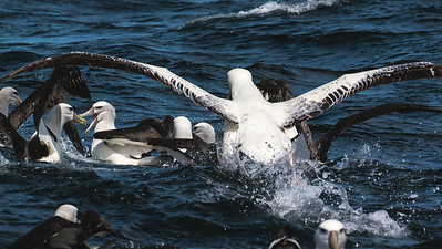 A chum scrum illustrating nicely the huge size difference between several albatross species. Photo by participant Gregg Recer.