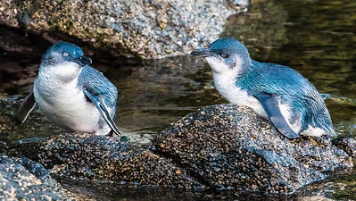 Little Blue Penguins gave us some fabulous views.  Photo by participant Gregg Recer.