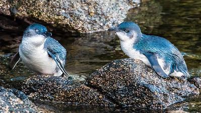 Little Blue Penguins gave us some fabulous views.  Photo by participant Gregg Recer.