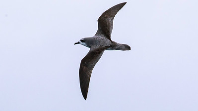 Participant Gregg Recer grabbed this fine shot of a Cook's Petrel on the pelagic extension.
