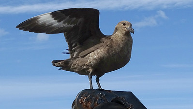 This Brown Skua gave us a good look at the wing pattern. Photo by guide Dan Lane.