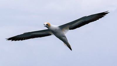 Participant Gregg Recer captured this great flight portrait of an Australasian Gannet.