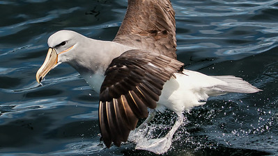 Salvin's Albatross on one of our boat trips, photographed by participant Gregg Recer.