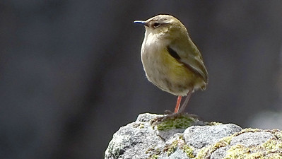 South Island Wren is one of the sought-after endemics.  Photo by guide Dan Lane.
