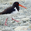 South Island Oystercatcher, photographed by guide Dan Lane.